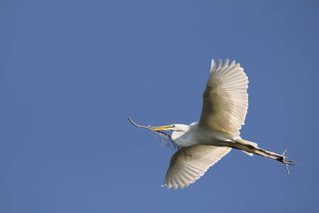 long toes: Egret carrying nesting material. Stock Photo