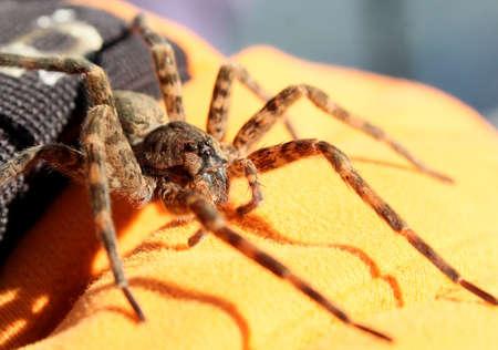 spider: Big brown spider on a black and orange gloved hand