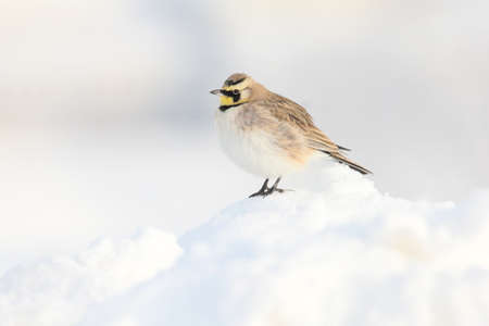 Horned lark perched in the snow.