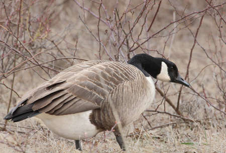 canadensis: Canada goose standing in front of briars. Stock Photo