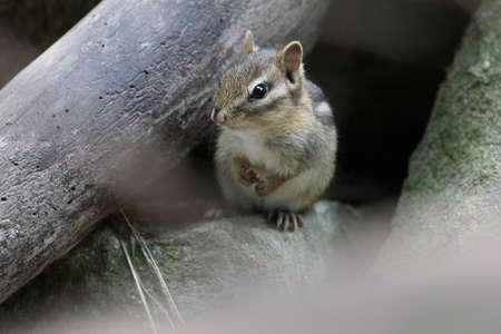 ardilla: Chipmunk mirando a la cámara. Foto de archivo