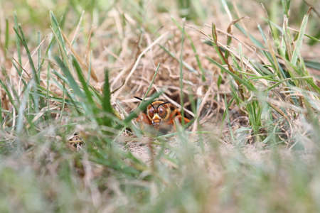 paralyze: Cicada killer looking out from its burrow.