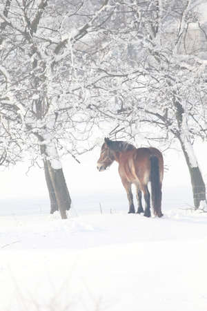 amish: Amish draft horse standing among snowy trees.