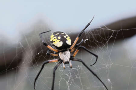 argiope: Female black & yellow argiope in her web.