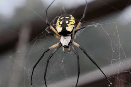 argiope: Female black & yellow argiope hanging in her web. Stock Photo