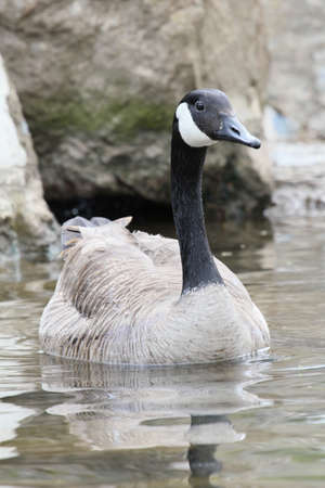 Canada goose swimming in front of rocks.