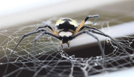 argiope: Looking up at a female black & yellow argiope in her web.