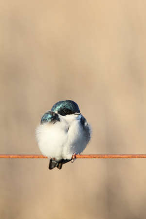 Tree swallow with fluffed-up feathers.