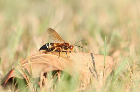 Cicada killer sitting on a dry leaf.