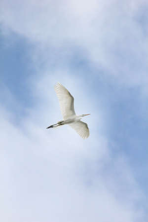 Egret in flight against cloudy blue sky.