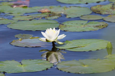 lily pads: Lily pads with flower. Stock Photo