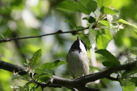 chickadee: Chickadee on a tree branch.