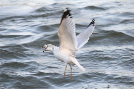beak: Seagull flying over water with a fish in its beak.