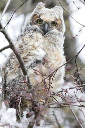 horned: Immature great horned owl.