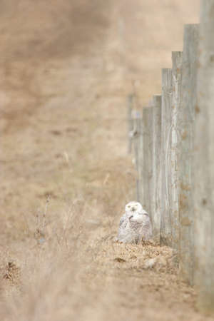 making a face: Snowy owl sitting on the ground by a fence making a face.