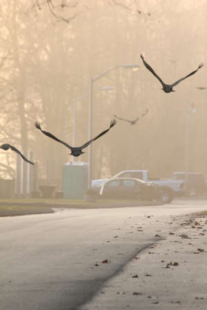 primaries: Vultures flying away from the camera above a road.