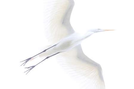 overexposed: White egret flying over the camera.