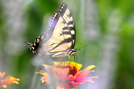 swallowtail: Tiger swallowtail butterfly feeding on zinnia.