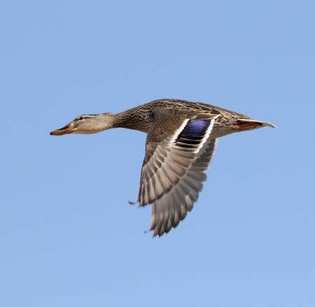 pato: Mujer pato del pato silvestre en vuelo. Foto de archivo