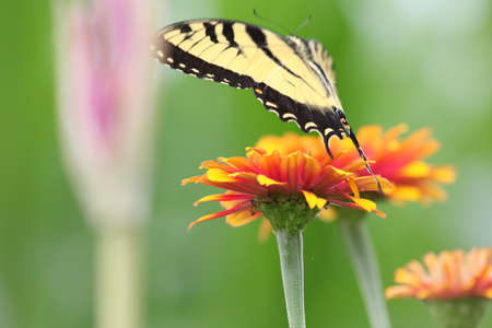 swallowtail: Tiger swallowtail butterfly flying over zinnia. Stock Photo