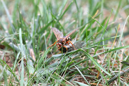 dragging: Cicada killer dragging a cicada through grass. Stock Photo