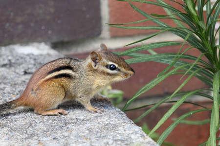 chasing tail: Chipmunk looking at the camera.