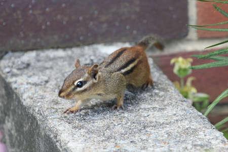 chipmunk: Chipmunk mirando a la c�mara. Foto de archivo