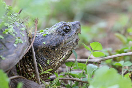 snapping turtle: Side view of a snapping turtle head.