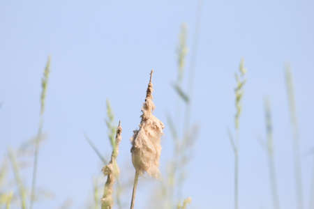 cattails: Fuzzy cattails against blue sky. Stock Photo