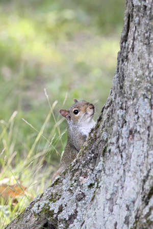 motionless: Gray squirrel peeking around a tree trunk.