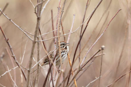 perky: Sparrow with open beak. Stock Photo