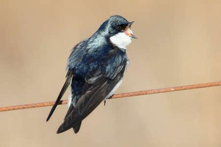 beak: Tree swallow with open beak. Stock Photo