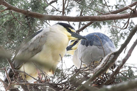 herons: Two herons in their nest. Stock Photo