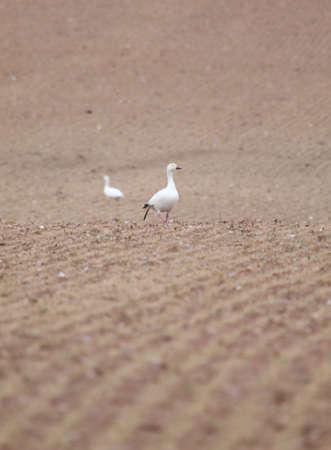 farm field: Two snow geese in a farm field. Stock Photo