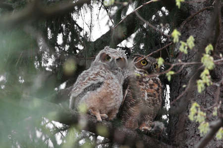 immature: Immature great horned owl with its parent. Stock Photo