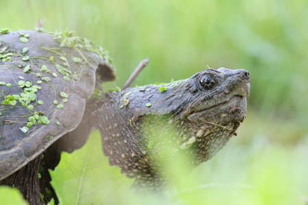 snapping turtle: Snapping turtle with leaves and algae. Stock Photo