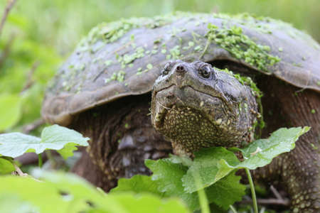 snapping turtle: Snapping turtle with green leaves.