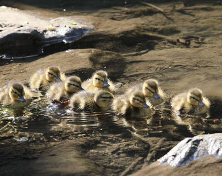 Baby ducks swimming in a clear stream.