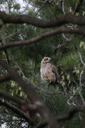 high up: Immature great horned owl high up in a pine tree.