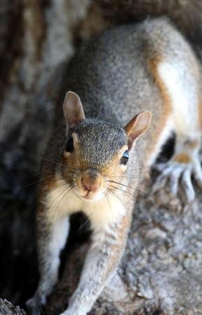 run down: Gray squirrel facing the camera.