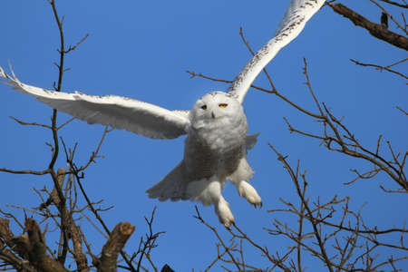 snowy owl: Snowy owl flying from a tree. Stock Photo