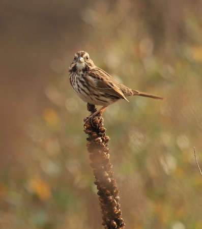 Song Sparrow and Mullins Banco de Imagens