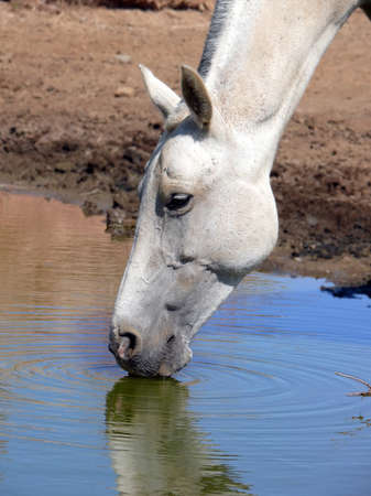 horse drinking from a puddle photo