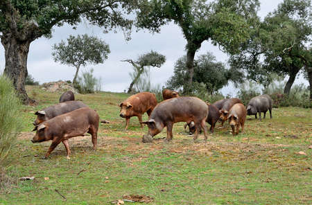 extremadura: herd of Iberian pigs eating acorns of oaks in the fields of Extremadura, Spain