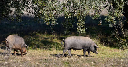 two Iberian pigs eating acorns holm in the field of Extremadura, Spain - panoramic view photo