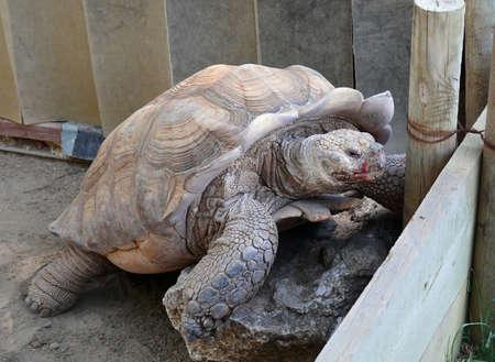 gigantesque: une tortue gigantesque grimper un rocher