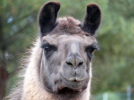 pack animal: Una testa di lama an Lama � un Sudamericana camelid addomesticato, ampiamente usato come carne e confezionare degli animali da culture andine Archivio Fotografico