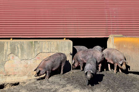 pigsty: Iberian pigs out of the pigsty Stock Photo