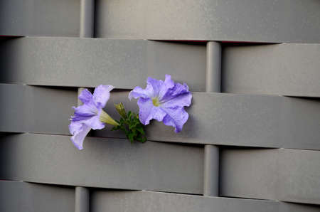 poking: violet flowers poking through a gray fence