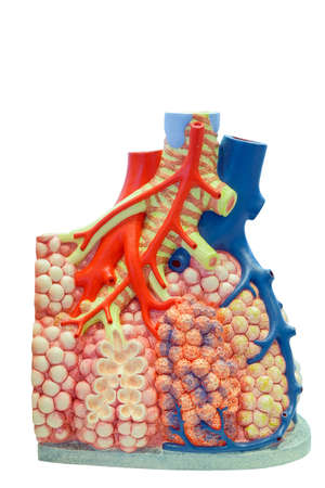 Anatomical model of the pulmonary and blood vessels of the human body for use in medical education, isolated on white background.